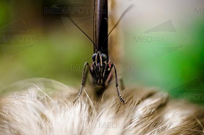 Morpho peleides, motýl, vlasy