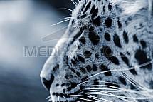 Levhart čínský, Panthera pardus japonensis