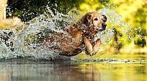 pes, retrivr, koupání, voda