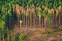 Smrkový les, kůrovec