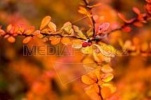 Podzim, barvy, keř, listy, oranžová