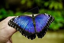 Morpho peleides, motýl
