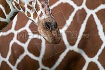 Žirafa, čenich