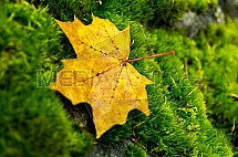 Podzim, list, mech, javor