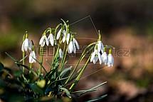 Sněženka, Galanthus L.