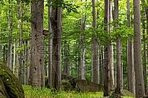 Jizerské hory, les, bučiny, strom