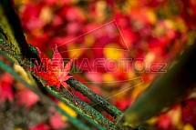 Podzim, barvy, javor