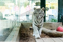 Bílý tygr, Panthera tigris