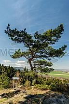 Strom, borovice, skála