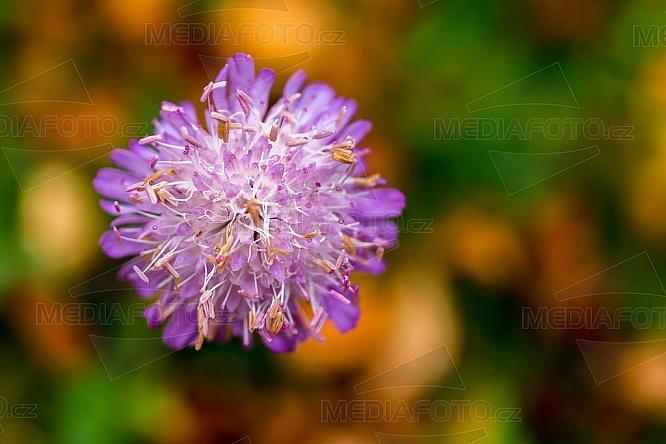 Chrastavec lesní, Knautia dipsacifolia. květ