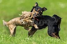 Pes, čivava, hra