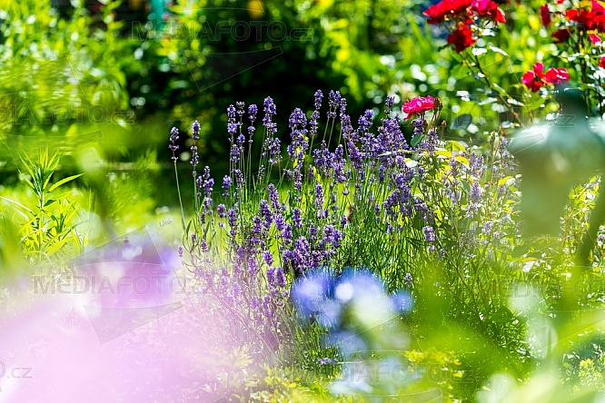 levandule, zahrada, květina