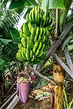 Banán, banánovník, trs