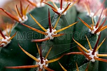 Kaktus, detail, trn