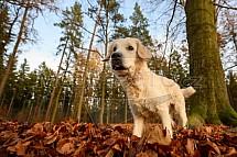 Retrívr, listí, podzim, pes
