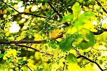 Slivoň, mirabelka, Prunus domestica syriaca