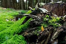 Les, pařez, houba, Kuřátka zlatá, Ramaria aurea