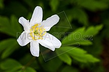 Sasanka hajní (Anemone nemorosa), květ