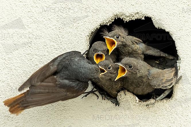 pták, mládě, hnízdo, krmení, hlad