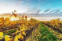 Valtice, vinice, víno, réva, podzim