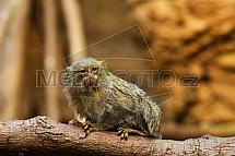 Kosman zakrslý (Callithrix pygmaea)