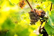 Vinná réva, hrozen, vinice, plíseň
