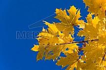 List, javor, acer, strom, podzim