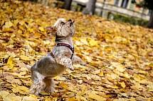 Yorkšírský teriér, pes, podzim