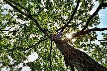 Strom, koruna, protisvětlo, slunce